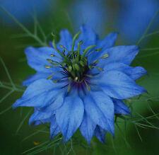 1500 Graines de Nigelle de Damas Miss Jekyll Bleu (Cheveux de Vénus) / Fleurs