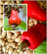 *UNCLE CHAN* 5 SEED ANACARDIUM OCCIDENTALE CASHEW NUT TREE RARE TROPICAL FRUIT