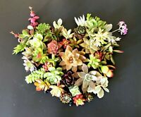 20 + 2 Beautiful, Colorful & Healthy Succulent Cuttings! 20 Varieties FREE SHIP