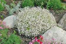 500+BABY'S BREATH Seeds Annual Dried Cut Flowers Bouquet Garden/Patio Containers