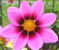 COSMOS SONATA PINK BLUSH DWARF Cosmos Bipinnatus - 100 Seeds