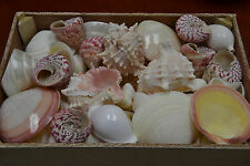 100+ PCS ASSORT PINK MUREX PEARL MIX SEA SHELL WITH WOOD BOX DECOR CRAFT #7888