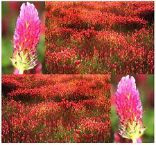 (1,000+) FRENCH CRIMSON CLOVER Seed - Trifolium Incarnatum