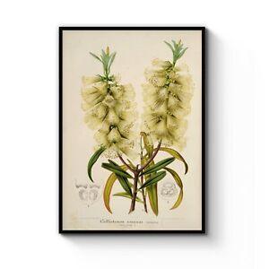 Vintage Yellow Myrtle Flower Botanical Drawing Art Print Poster A4 - B1 Framed