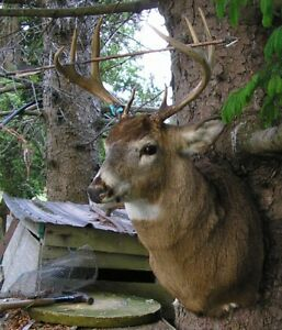White tail deer shoulder mount – Wisconsin bow 11/13/98 ant Buck Taxidermy Mount