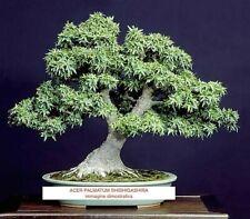 Acer palmatum Shishigashira per bonsai,raro