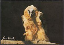 AA5723 Avvoltoio degli agnelli - Gypaetus barbatus - Cartolina - Postcard