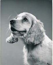 COCKER SPANIEL ANGLAIS c. 1950 - Chien Chiot Grand Format - CH 36