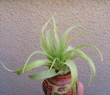 Large Tillandsia Brachycaulos Green