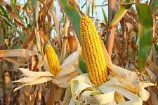 ONE POUND TREATED FIELD CORN SEED - Excellent Feed for Livestock - FREE SHIPPING