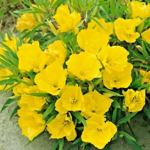 200+(DWARF) MISSOURI EVENING PRIMROSE Flower Seeds Drought Tolerant Groundcover
