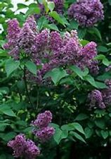 Lilac- Common- 20 Seeds -