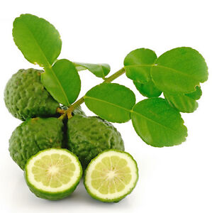 10 Thai Kaffir Lime Seeds,CITRUS HYSTRIX, grow lime leaves,เมล็ดมะกรูด, fragrant