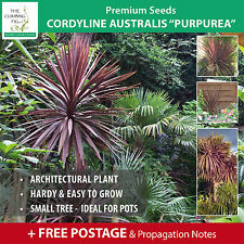 "Cordyline Australis ""Purpurea"" seeds. Purple strappy leaves. Hardy cabbage tree."