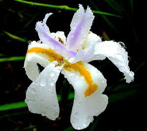 10 Dietes grandiflora SEEDS SEMI IRIS no stapelia ariocarpus orbea aloe