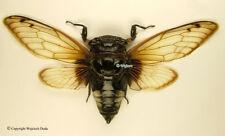 Cryptotympana acuta, Nice, large Cicada, (spread), Indonesia, A1/A-