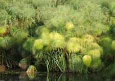Cyperus papyrus Egypt Paper Reed Papyrus Sedge 30 Seeds Marginal Grass UKFreeP&P