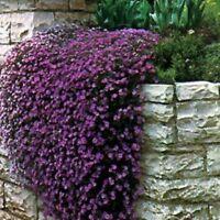 Rock Cress- Aubrieta- Cascade Purple- 50 Seeds- BOGO 50% off SALE