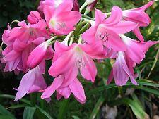 Crinum Lily, Bradley, medium-size bulb NEW