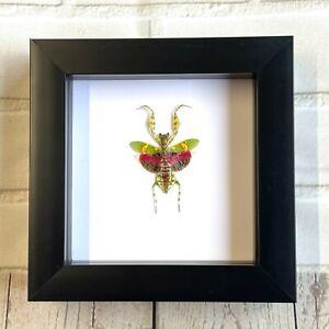 Jewelled Flower Mantis (Creobroter gemmatus) Shadow Box Frame Display Beetle