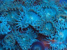 Teal Palythoa live coral - 5 polyps