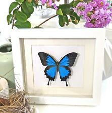 Australian butterfly display for sale taxidermy Papilio ulysses WHPUL