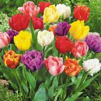 "/""SPRING MIXED LILY TULIP BULBS/"""