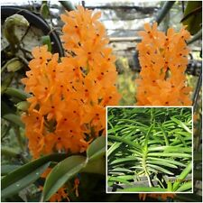 "Orchid Plants Ascocentrum miniatum 1"" In Pot Orange Flower From Thailand"