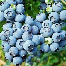 12 graines MYRTILLE GEANTE ARBUSTIVE(Vaccinium Corymbosum)H390 BLUEBERRY SEEDS