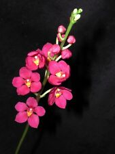 Sarcochilus Orchid Highfield Cherry Orange 50mm potted Bred by AON