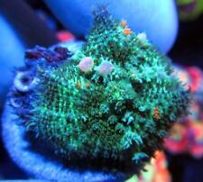 New listing Live Coral Dreef gOd Spawn Bounce Mushroom, Wysiwyg