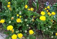 10 Petits plant de soucis 20 /30 cm environ