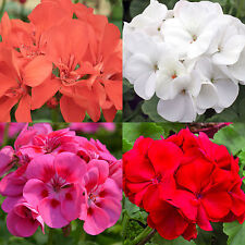 18 GERANIUM SEEDS MIX PELARGONIUM Hanging Baskets Perennial Bedding Plant USA