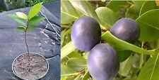 "6"" (or higher) Coco Plum (chrysobalanus icaco) Cocoplum Plant"