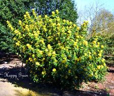 Uva de Oregón Mahonia aquifolium - 33 Semillas-Arbusto