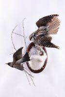 Taxidermy Northern hawk-owl with Fieldfare Bird of prey Real Animal Stuffed
