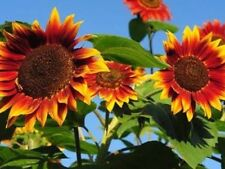"Sunflower Seeds Evening Sun "" 25 Seeds "" Easy To Grow"