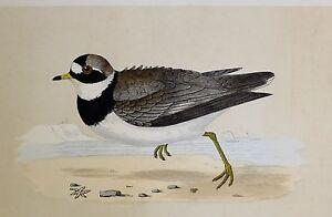 c1875 ANTIQUE PRINT ~ RINGED DOTTEREL  ~ HAND COLOURED British Birds Morris