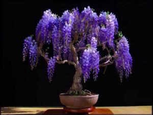 Bolusanthus speciosus (Tree Wisteria) 10 Seeds - RARE Flowering Indoor Bonsai UK
