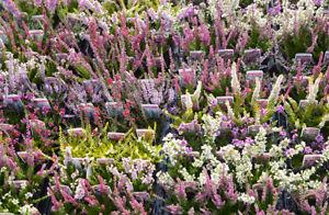 12 MIXED HEATHERS CALLUNA & ERICA VARIETIES COLOURFUL FLOWERING PLANTS