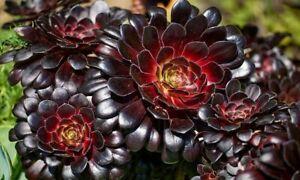 Rare Aeonium Arboreum 'Black Rose' 3x Live Succulent Rosette Cuts Free Shipping