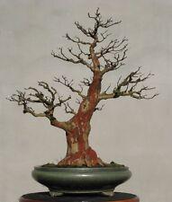 rare bonsai seeds -- lagerstroemia subcostata ryukyu crepe myrtle  10 seeds