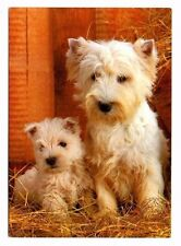 West Highland White Terriers - Dog Postcard