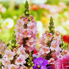 1000+TALL SNAPDRAGON Northern Lights Mix Seed Blooms Summer to Fall CUT FLOWERS