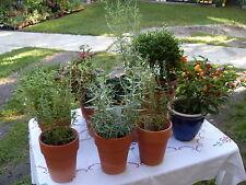 Kerbel (Würzkraut) Kraut, Samen für Salat, Suppe, Gemüse, im Winter auch grün