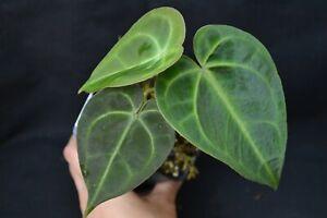 Anthurium crystallinum - rare aroid