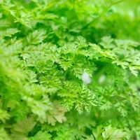 Winter Chervil, French Parsley, NON-GMO, Heirloom, Variety Sizes, FREE SHIPPING