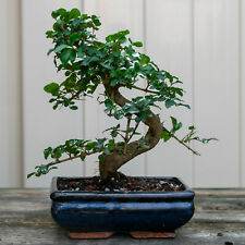 Chinese Privet Shohin Bonsai Tree - Ligustrum Sinense # 6647