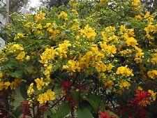 Cassia bicapsularis Christmas Senna Pint Plant FREE SHIP