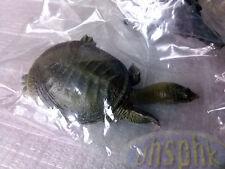 水魚KOW Nature Techni Color Pelodiscus sinensis Chinese Soft Shelled Turtle